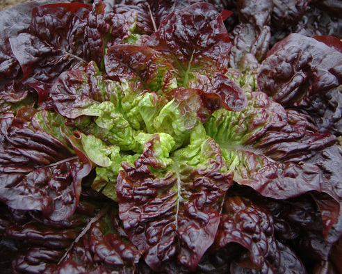 Red-Earred Butterheart (Lettuce)