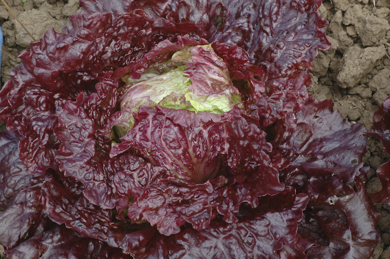 Red Ball Jets (Lettuce)