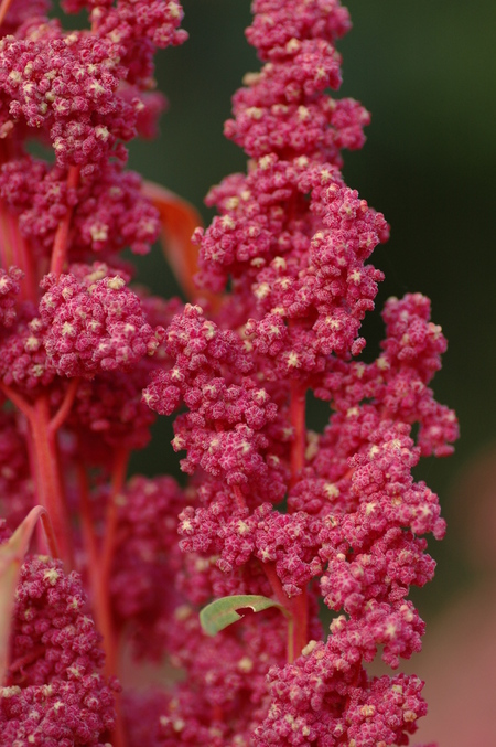 Red Head (Quinoa)