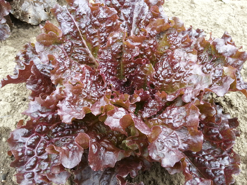 Red Flamingo (Lettuce)