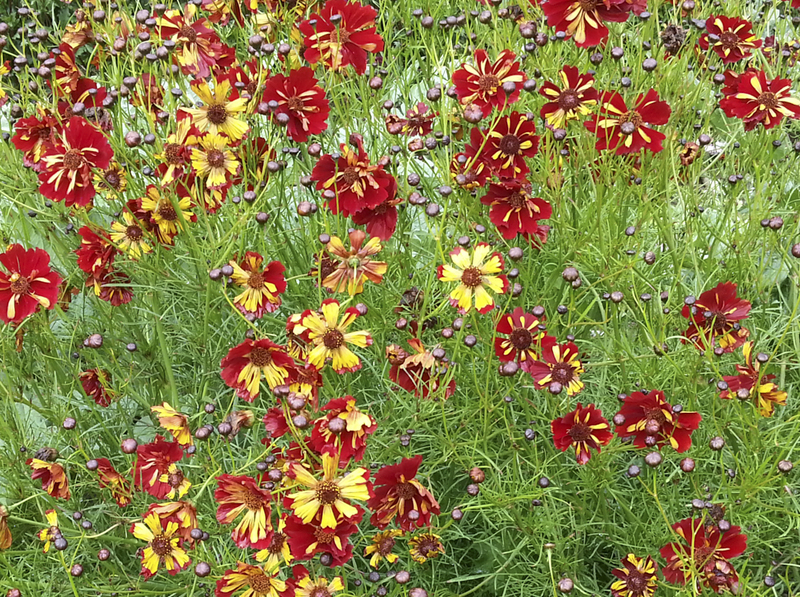 Roulette (Coreopsis)