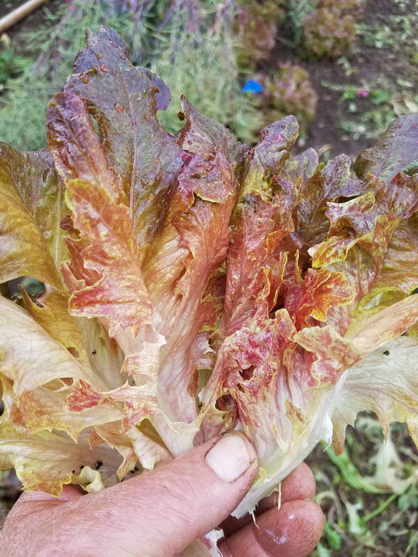 Strawberry Oakheart (Lettuce)