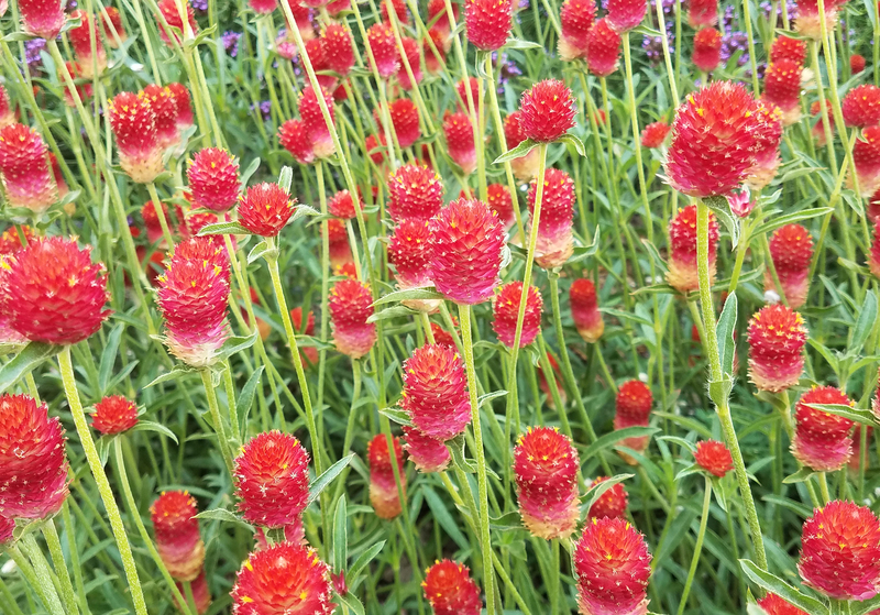 Strawberry Fields (Gomphrena)