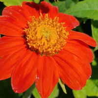 Tithonia/Mexican Sunflower