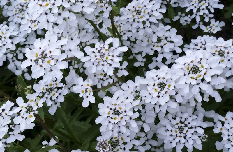 White Candytuft (Iberis/Candytuft)