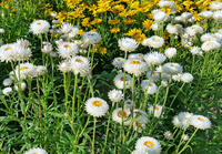 Antique White (Helichrysum/Straw Flower)