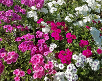 Art Shades Mix (Phlox)