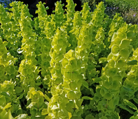 Bells of Ireland (Moluccella)
