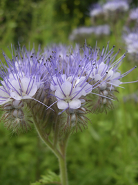 Best Find Phacelia