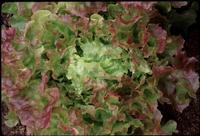 Blushed Icy Oak (Lettuce)
