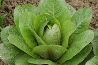 Brown Goldring (Lettuce)