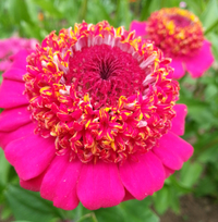 Candy Mix (Zinnia)