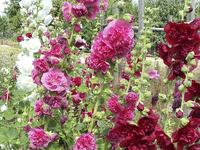Chater\'s Double Mixed Colors (Hollyhock)