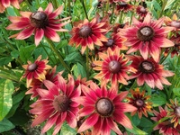Cherry Brandy (Rudbeckia)