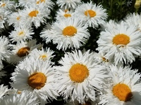 Crazy Daisy Chrysanthemum