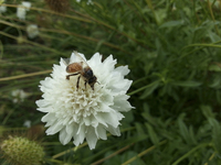Daylight White (Scabiosa)