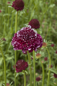 Deep Red (Scabiosa)