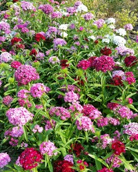 Doubled Chinensis Mix (Dianthus)