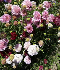 Dynamic Mix (Scabiosa)