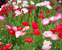 Falling In Love Corn Poppy