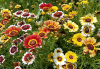 Fancy Pants Daisy Mix (Chrysanthemum)