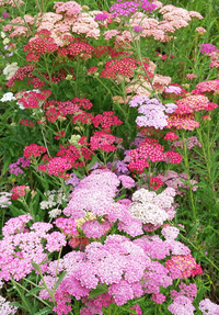 Favorite Berries (Achillea)