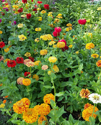 Fireball Mix Zinnia