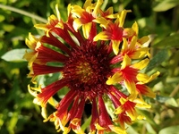 Gold Star Ruby Tubes (Gaillardia/Blanket Flower)