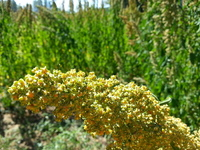 Golden Afternoon Quinoa