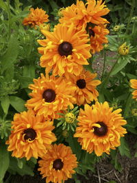 Goldilocks (Rudbekia)