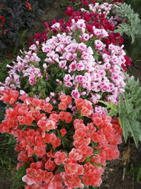 Grace Mix (Godetia/Clarkia)