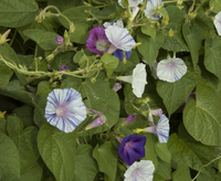 Grandpa's Carnival Mix (Morning Glory)