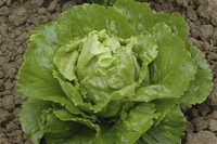 Green Lotus (Lettuce)