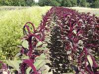 Hopi Red Dye (Amaranth)