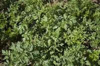 Hungarian Landrace (Parsley)
