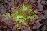 Hyper Red Oak (Lettuce)