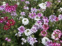 Ideal Florist Mix (Verbena)