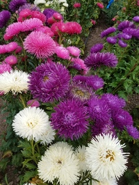 Idyll Extra Mix (China Aster)