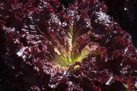 InfraRouge Leaf (Lettuce)