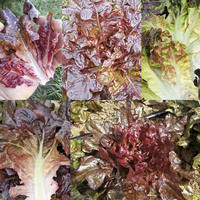 Jewel Box Mix Lettuce