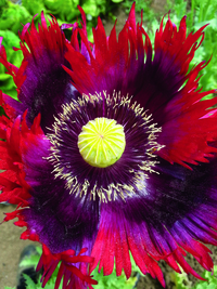 Jimi's Flag Mix Poppy