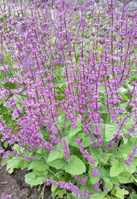 Judean Purple Sage (Salvia/Sage)