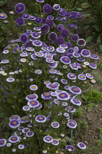 Lilliput Blue Moon (China Aster)
