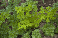 Macedonian (Parsley)