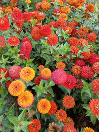 Magic Bus (Zinnia)