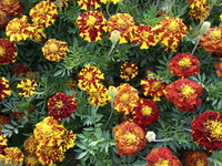 Mr. Majestic Double Marigolds: Short