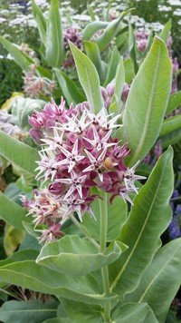Native Northwest Asclepias/Milkweed