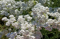 Native White (Achillea)