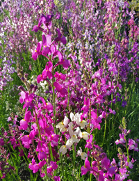 Northern Lights (Linaria/Toadflax)