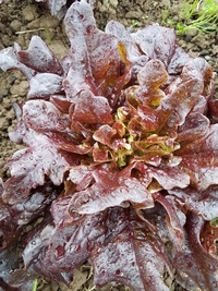 Oxblood Oak Lettuce
